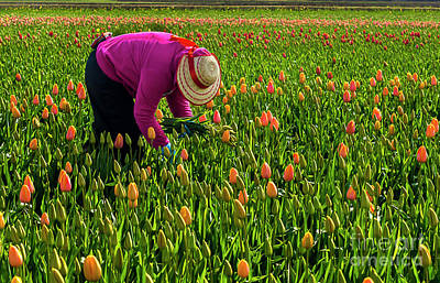Tulips Picker Art Print