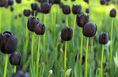 Photograph - Tulips by Radoslav Nedelchev