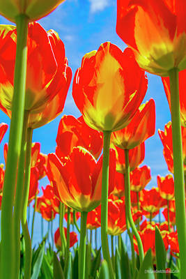 Photograph - Tulips Reach For The Sky by LeeAnn McLaneGoetz McLaneGoetzStudioLLCcom
