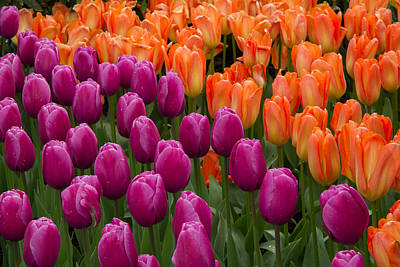 Photograph - Tulips by Roger Mullenhour