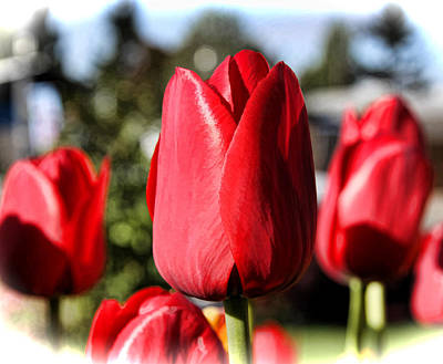 Photograph - Tulips by Sergey  Nassyrov