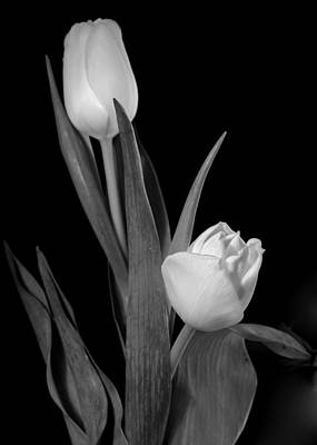 Photograph - Tulips by Sharon Foster