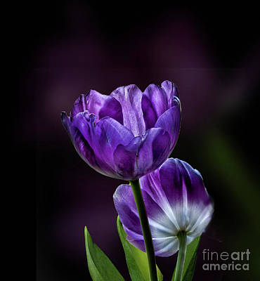Photograph - Tulips by Shirley Mangini