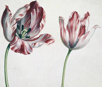 Tulips Drawing - Tulips by Simon Peeterz Verelst