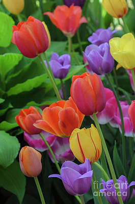 Photograph - Tulips by Tamara Becker
