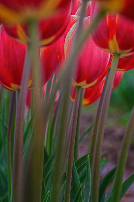 Photograph - Tulips by Thomas Hall