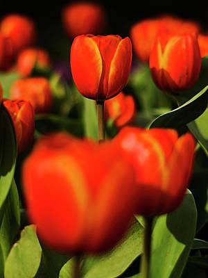Tulips Original by Tim Sanusi