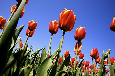 Tag Digital Art - Tulips Time 3 by Robert Pearson
