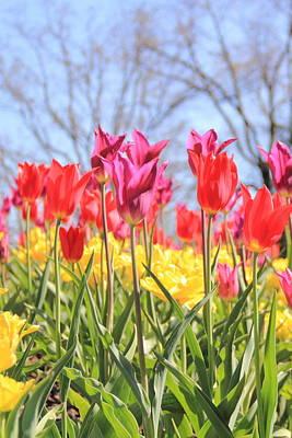 Photograph - Tulips Toward The Sky by Angela Murdock