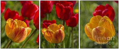 Flower Works Photograph - Tulips by Veikko Suikkanen