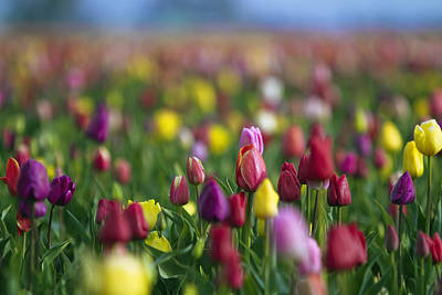 Photograph - Tulips by William Lee