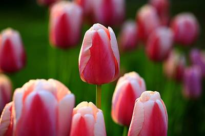 Tulips For The Home Photograph - Tulpen Aus Paderborn by Rusalka Koroleva