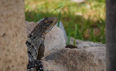 Photograph - Tulum Iguana by Laurie Perry