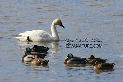 Photograph - Tundra Mallards 4076 by Captain Debbie Ritter