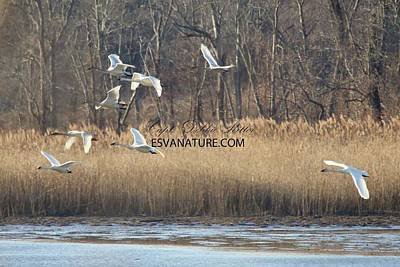 Photograph - Tundra Swan 0646 by Captain Debbie Ritter
