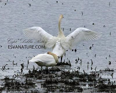 Photograph - Tundra Swan 1554 by Captain Debbie Ritter