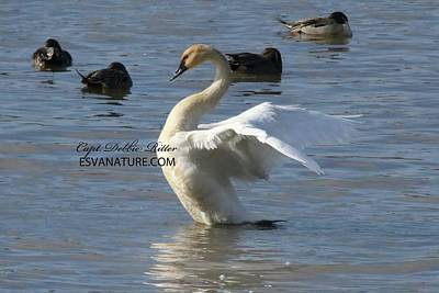 Photograph - Tundra Swan 2140 by Captain Debbie Ritter