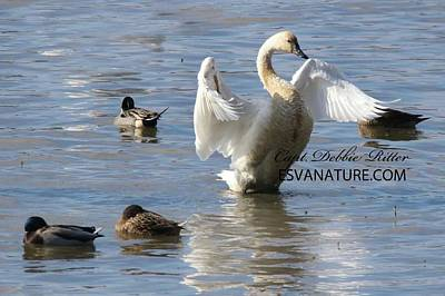 Photograph - Tundra Swan 4110 by Captain Debbie Ritter