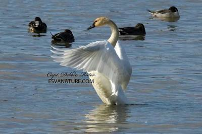 Photograph - Tundra Swan 4121 by Captain Debbie Ritter