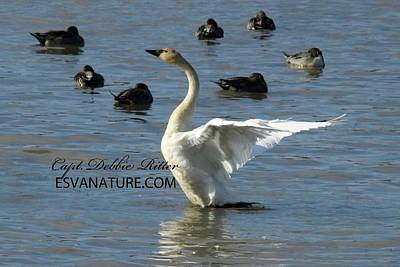 Photograph - Tundra Swan 4123 by Captain Debbie Ritter