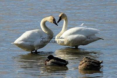 Photograph - Tundra Swan 4173 by Captain Debbie Ritter
