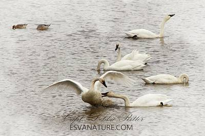 Photograph - Tundra Swan 6500 by Captain Debbie Ritter