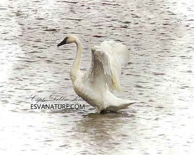 Photograph - Tundra Swan 6509 by Captain Debbie Ritter