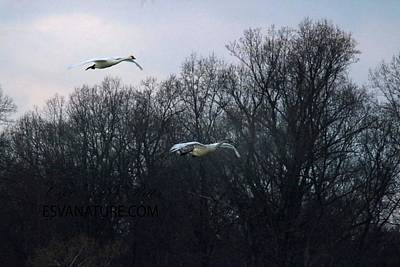 Photograph - Tundra Swan 7050 by Captain Debbie Ritter