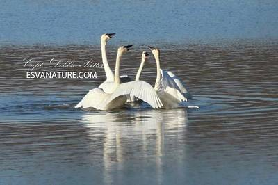 Photograph - Tundra Swan 9659 by Captain Debbie Ritter