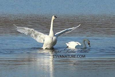 Photograph - Tundra Swan 9686 by Captain Debbie Ritter