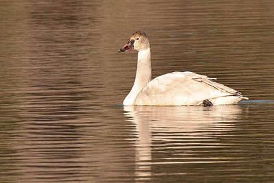 Photograph - Tundra Swan by Alan Lenk