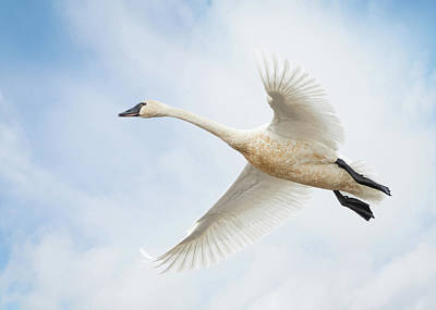 Photograph - Tundra Swan by Angie Vogel