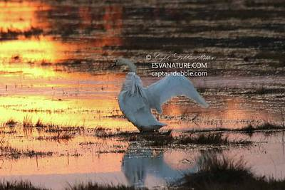Photograph - Tundra Swan At Sunset 2 by Captain Debbie Ritter