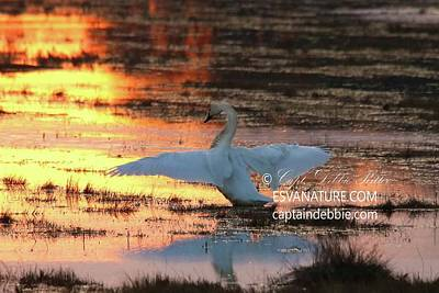 Photograph - Tundra Swan At Sunset 4 by Captain Debbie Ritter