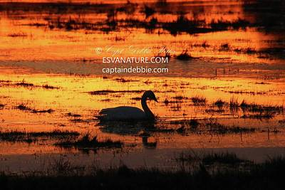 Photograph - Tundra Swan At Sunset 6 by Captain Debbie Ritter