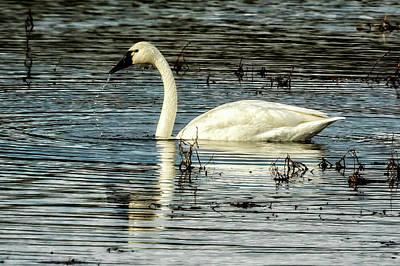 Photograph - Tundra Swan by Belinda Greb