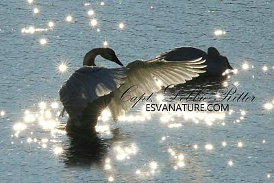 Photograph - Tundra Swan Diamonds 9992 by Captain Debbie Ritter