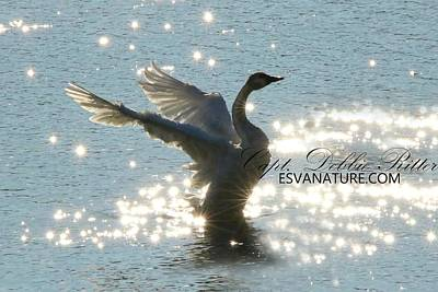 Photograph - Tundra Swan Diamonds 9994 by Captain Debbie Ritter