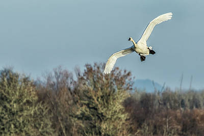 Photograph - Tundra Swan Flying by Belinda Greb