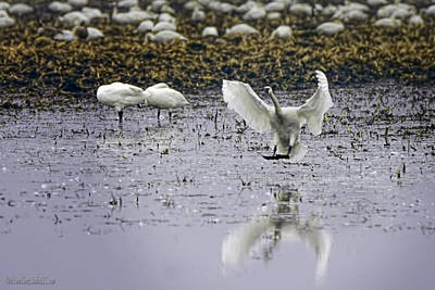 Photograph - Tundra Swan Has Landed by LeeAnn McLaneGoetz McLaneGoetzStudioLLCcom