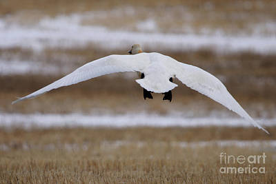 Photograph - Tundra Swan In Flight by Alyce Taylor