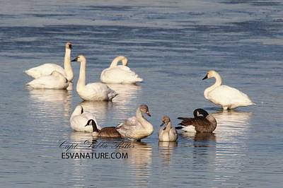Photograph - Tundra Swan Juv by Captain Debbie Ritter