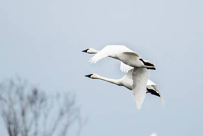 Photograph - Tundra Swan Lift-off by Donald Brown