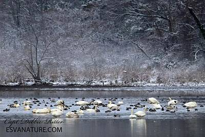 Photograph - Tundra Swan Snow 3520 by Captain Debbie Ritter