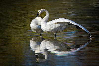 Photograph - Tundra Swan Stretch by Craig Strand