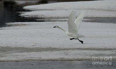 Photograph - Trumpeter Swan Taking Flight by Bob Christopher