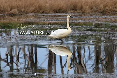 Photograph - Tundra Swans 0208 by Captain Debbie Ritter