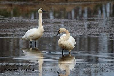 Photograph - Tundra Swans 0224 by Captain Debbie Ritter