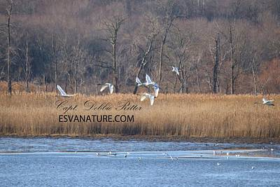 Photograph - Tundra Swans 0642 by Captain Debbie Ritter