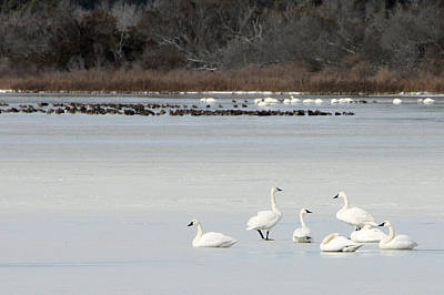 Photograph - Tundra Swans 1 by Captain Debbie Ritter